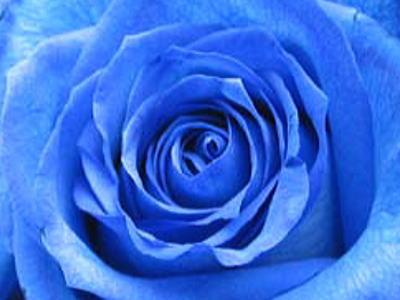 薔薇の画像 p1_4
